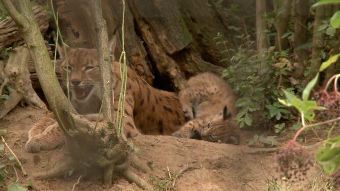 Młode rysie są atrakcją <br />węgierskiego ogrodu zoologicznego