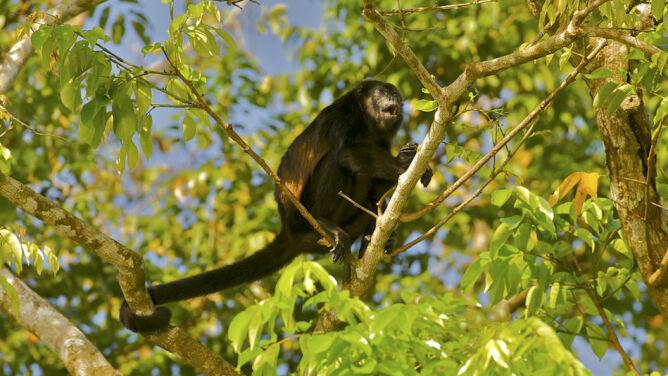 Kostarykańskie małpy żółkną. <br />Przyczyną mogą być pestycydy