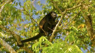 Kostarykańskie małpy żółkną. Przyczyną mogą być pestycydy