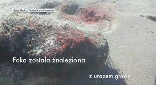 Znaleziono martwą fokę Helenkę w Helu