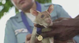 Szczur bohater przechodzi na emeryturę