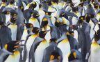 Pingwiny królewskie w naturalnym środowisku
